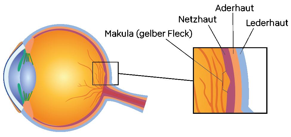 Illustration der Bestandteile des Auges im Speziellen der Makula